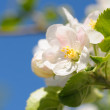 Closeup on apple tree blossoms — Stock Photo