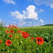 Red poppies on a field — Stock Photo
