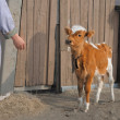 Young brown calf watches approaching worker — Stock Photo