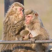Family of Japanese macaca — Stock Photo