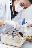 Scientist works with laboratory mouse — Stock Photo