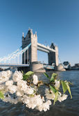 Cherry blossoms with Tower bridge in the backdrop — Foto Stock