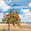 Rovan tree in late summer — Stock Photo #44017535