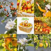 Biologiczne jabłka, kolaż — Zdjęcie stockowe