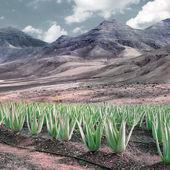 Aloe vera plantation — Stock Photo