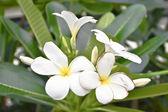 Frangipani flower on wood — Stock Photo