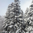 Pine tree with snow — Stock Photo