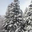 Pine tree with snow — Stock Photo #33229463