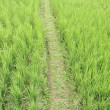 Rice field trek — Stock Photo
