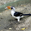 Little hornbill bird  — 图库照片
