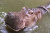 Pink hippopotamus from top view — Stock Photo