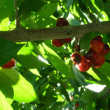 Fresh cherries on the tree — Stock Photo