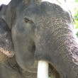 Stock Photo: Elephant with beautiful tusks