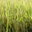 Green golden rice field — Stock Photo
