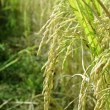 Rice field close up — Stock Photo
