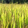 Green grass golden rice field — Stock Photo