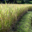 Rice filed and walk way — Stock Photo
