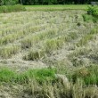 Rice field after harvested — Stock Photo