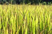 Groen gras gouden rijst veld — Stockfoto