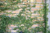 Pared de ladrillo con planta trepadora — Foto de Stock