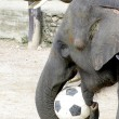 Elephant farm in Thailand, soccer, football play — Stock Photo