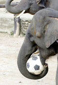 Fil çiftlik Tayland, futbol, futbol oynamak — Stok fotoğraf