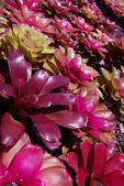 Red BROMELIAD flower in bloom, new life begin — Stock Photo