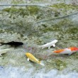 Stock Photo: Small koi fish