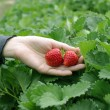 Stock Photo: Hand picked red strawberry
