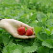Hand picked strawberries fresh from farm — Stock Photo #39437805