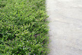 Concrete pathway and green flower cover — Stock Photo