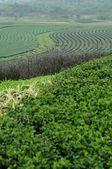 Tea farm on the hill — Stock Photo