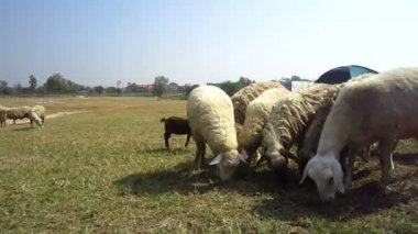 Sheep and goat farm close up, flock in different species and color — Stockvideo