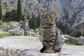 Kočka v chrámu apollo v delphi, řecko — Stock fotografie