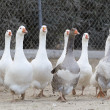 Domestic geese — Foto de Stock