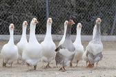 Domestic geese — Stock Photo