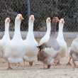 Domestic geese — Stock fotografie #34379551