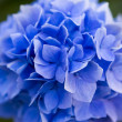 Stock Photo: Blue hydrangea.shal low DOF