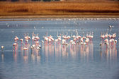 Flamingo (Phoenicopterus roseus) in a lake — Stock Photo