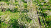Tree blooming inside a green fields. Aerial photography — Stock Photo