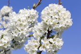 Cherry blossoms with white flowers on a background of blue sky — Stock Photo