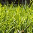 Close up of fresh thick grass — Stock Photo #46556759