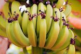 Banana growing on tree — Stock Photo