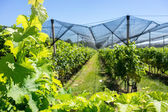 Vineyard with modern system for irrigation and nets against hail — Stock Photo