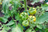 Tomatoes growing in a greenhouse, green tomatoes hanging on a vi — Stock Photo
