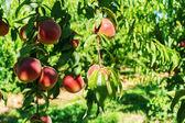 Frutas duraznos dulces creciendo en una rama de un árbol de melocotón — Foto de Stock