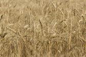 Wheat field — Foto de Stock