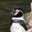 Stock Photo: Pinguin