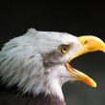 Weisskopfseeadler - Bald Eagle — Stock Photo