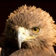 Stock Photo: Adler - Eagle